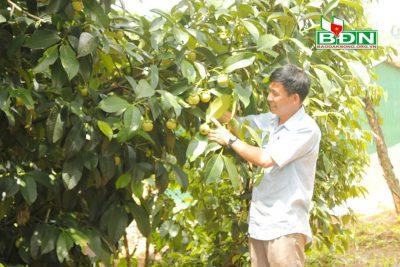 Khai thác lợi thế phát triển mạnh cây ăn trái